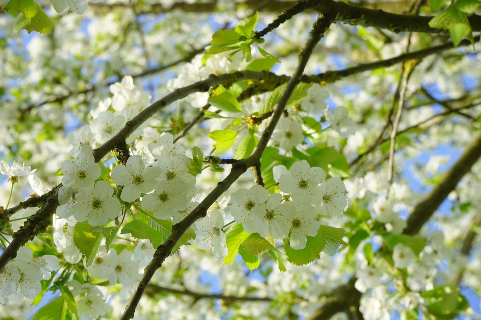 Cherry Blossoms, Flowers, White, Tree, Flowering Twig