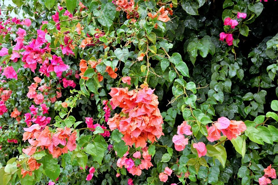 Flowers, Colorful, Flowering Vines, Pretty, Blooms