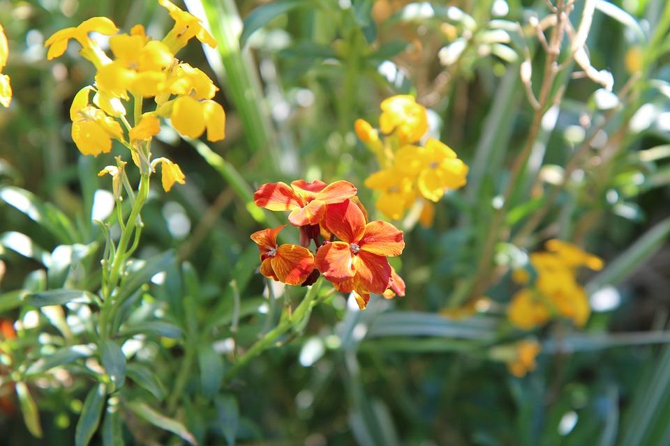 Wallflower, Wallflower Orange, Flowering, Spring