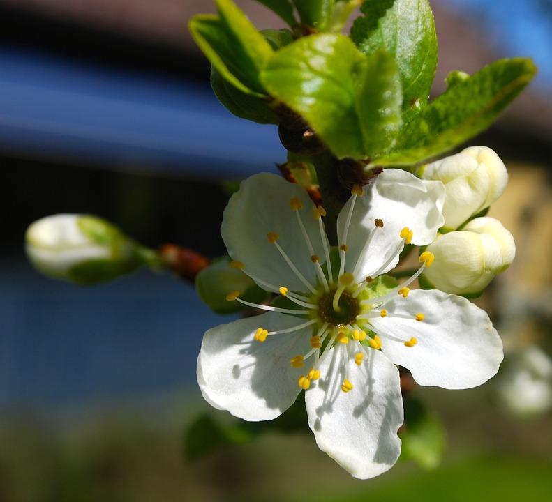 White, Plum, Tree, Spring, Flower, Greenery, Flowering
