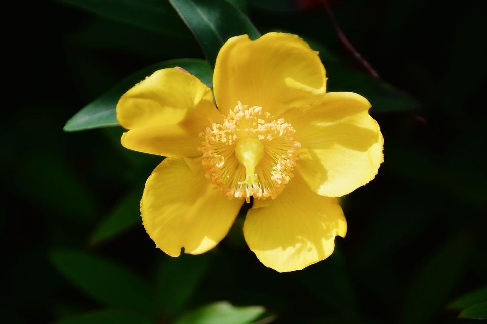 Flower, Agrimony, Yellow Flower, Flora, Flowering