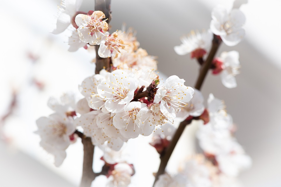 Flowers, Aesthetic, White, Spring, Tree Blossoms