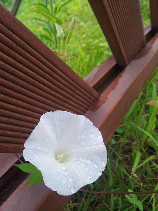 Free photo flowers after white flowers morning glory plants max pixel flowers morning glory white flowers after plants mightylinksfo Images