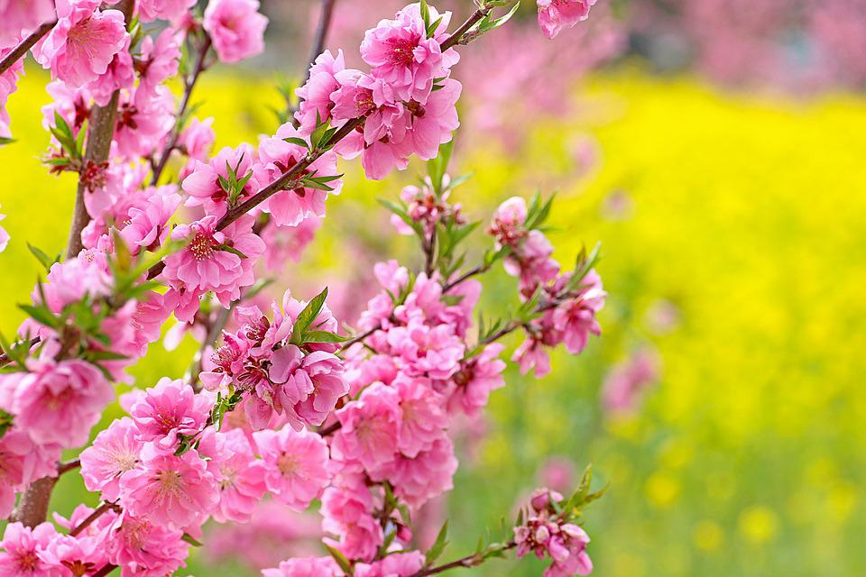 Flowers Also, Flowers Peach, Peach Blossoms
