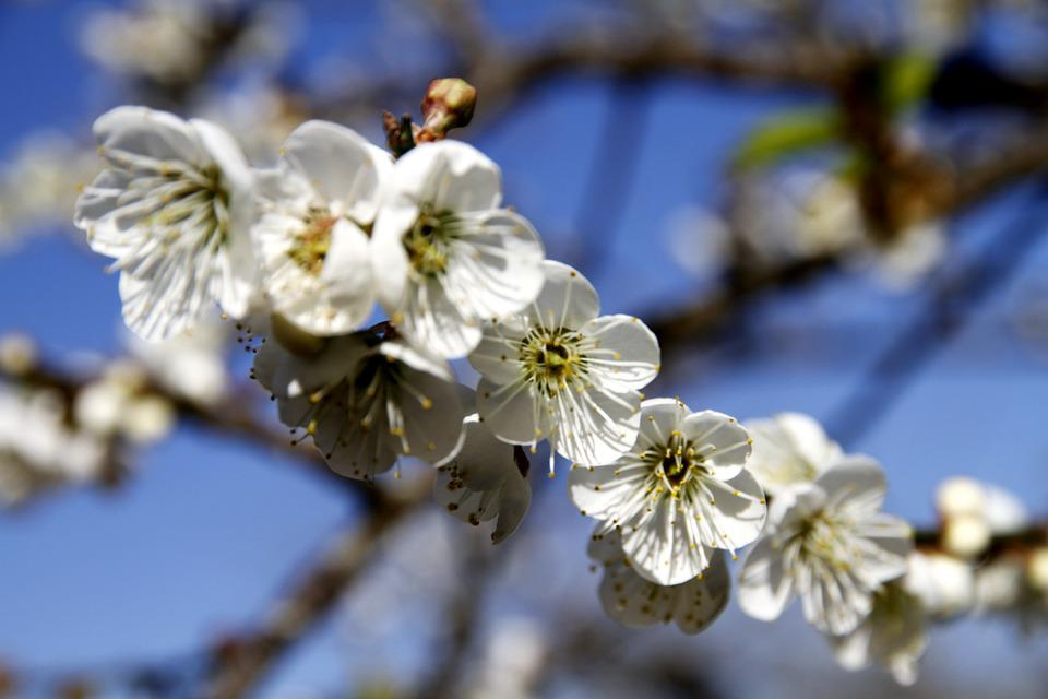 Plum Blossom, Shǎng Flowers, Flowers And Plants