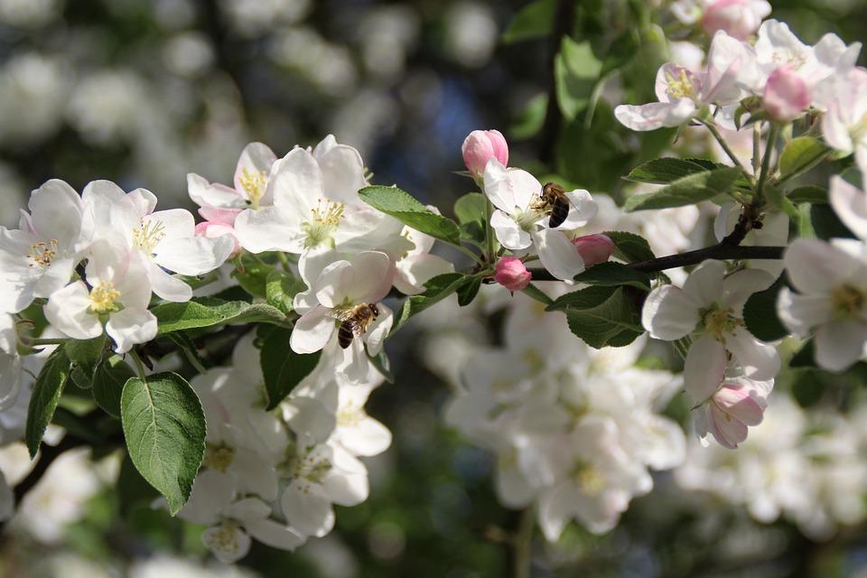 Spring, Apple, Apple Trees, Flourishing, Flowers, Bloom