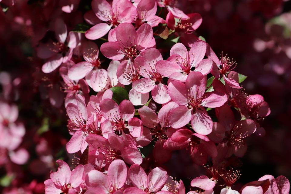 Apple Blossoms, Flowers, Branch, Japanese Crabapple
