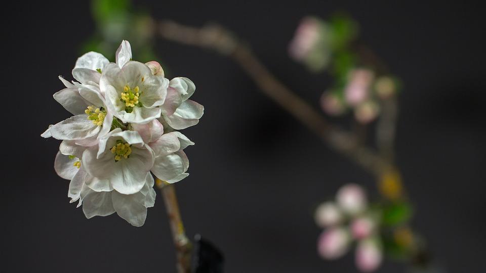 Apple Blossom, Flowers, Tree, Apple Tree, White Flowers