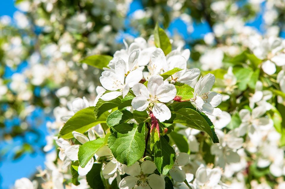 Flowers, Apple Tree, Apple Flower, Apple Blossoms