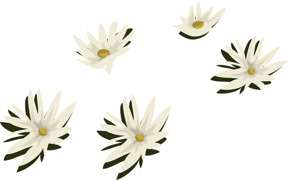 Water Lilies, White, Flowers, Aquatic, Plants, Lily