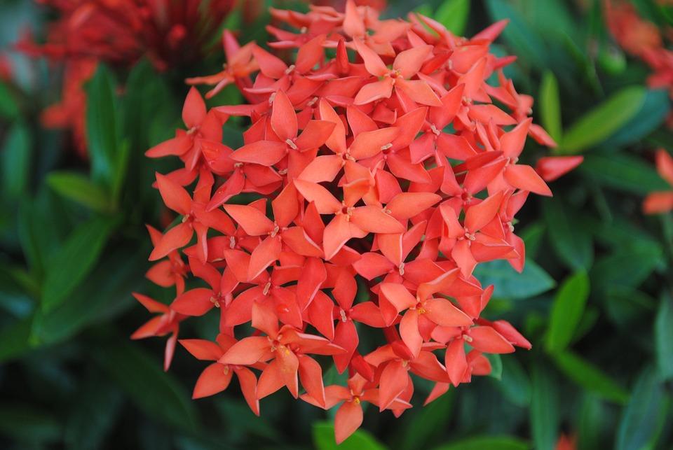 Asoca, Flowers, Garden, Red Flowers, Petals, Red Petals