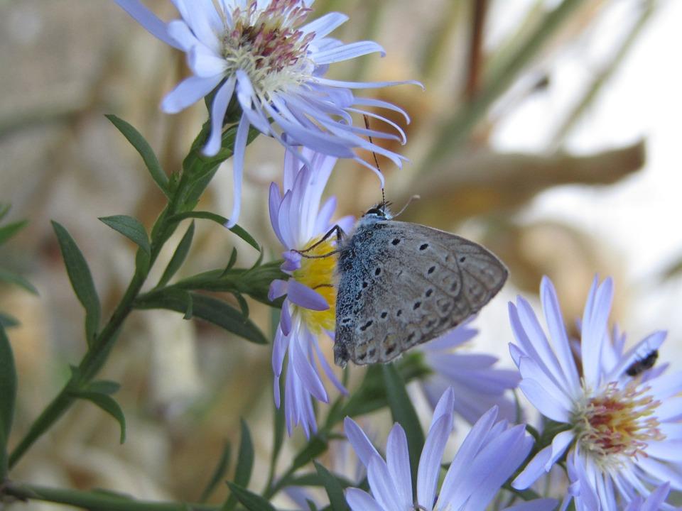 Azure, Butterfly, Azure Cordouan, Blue, Grey, Flowers