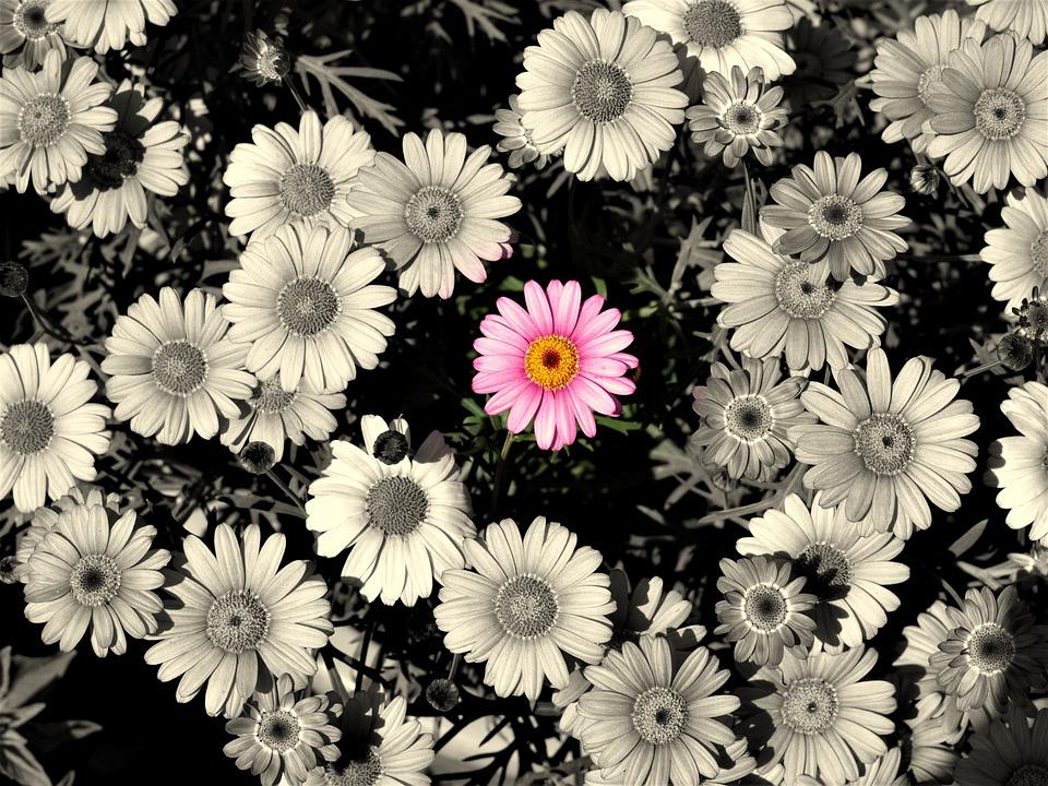 Daisy, Pink, Flowers, Background