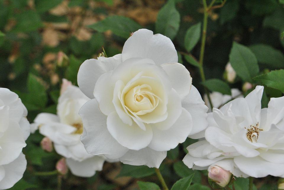 Rose White Roses Flower Garden Beautiful Flowers