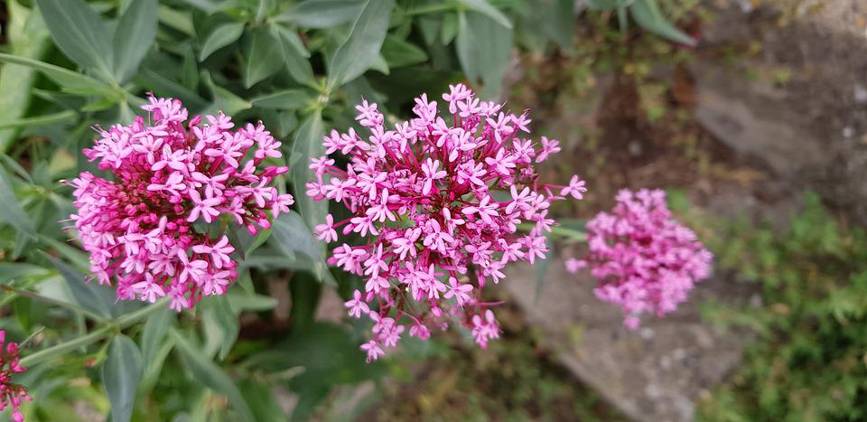 Flowers, Plants, Pink, Beauty, Flowering, Garden, Flora