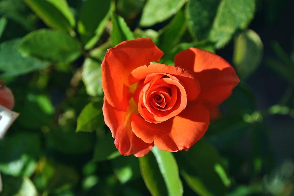 Rose Orange Nature Flowers Petals Beauty