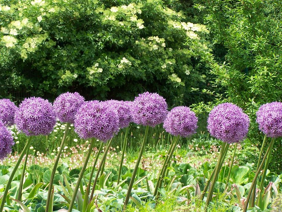 Free photo flowers bloom blossom allium purple pink max pixel allium flowers blossom bloom purple pink mightylinksfo