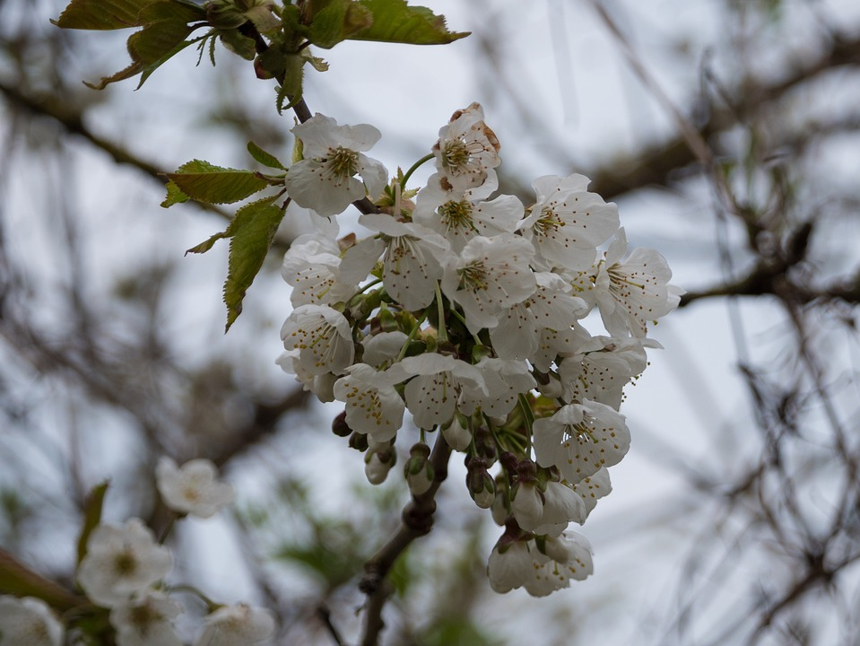 Flowers, White Flowers, Branches, Blossom, Bloom, Flora