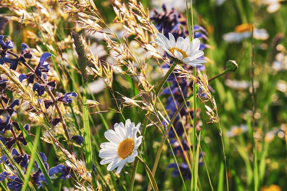 Daisies, Flowers, Bloom, Nature, Flower Meadow