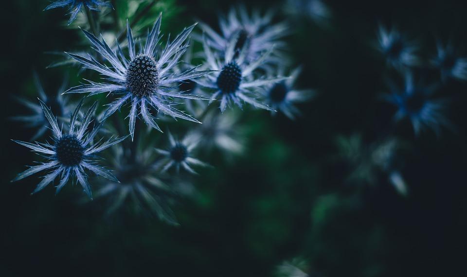 Flowers, Bloom, Blossom, Flora, Macro, Blue Flowers