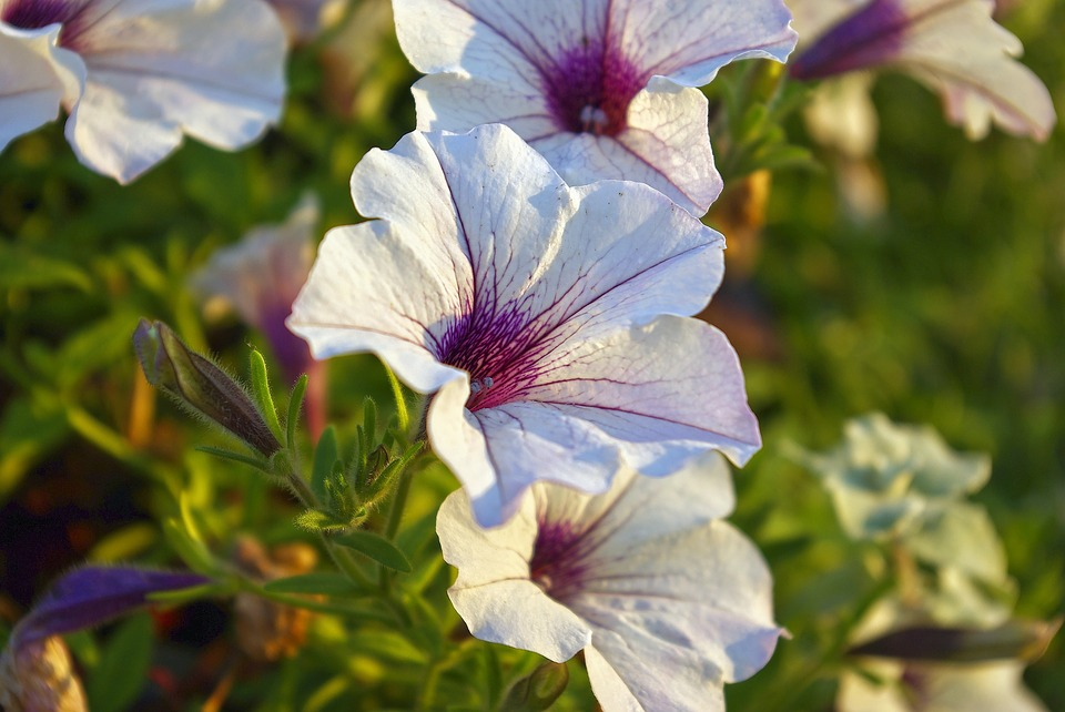 Petunias At Olbrich, Petunia, Blossoms, Flowers, Bloom
