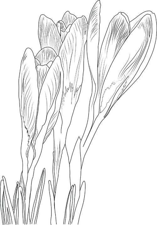 Crocus, Flowers, Line Art, Plant, Bloom, Saffron