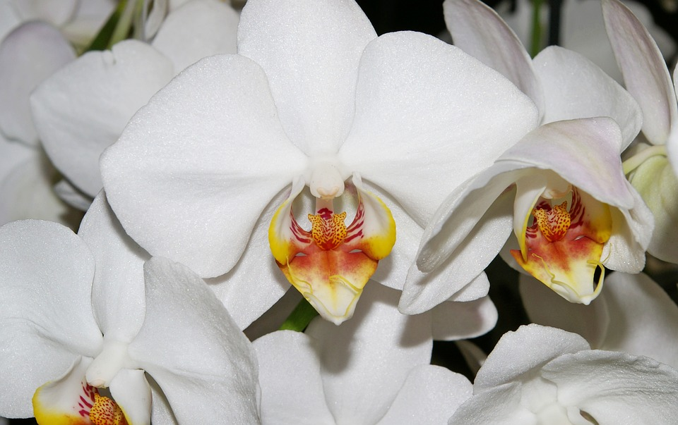 Orchids, White, Blossom, Bloom, Plant, Purity, Flowers