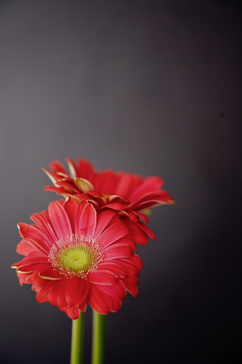 Gerbera, Flowers, Red, Black, Blossom, Bloom, Romantic