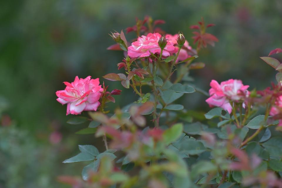 Roses, Flowers, Blossom, Bloom, Rose Petals, Flora