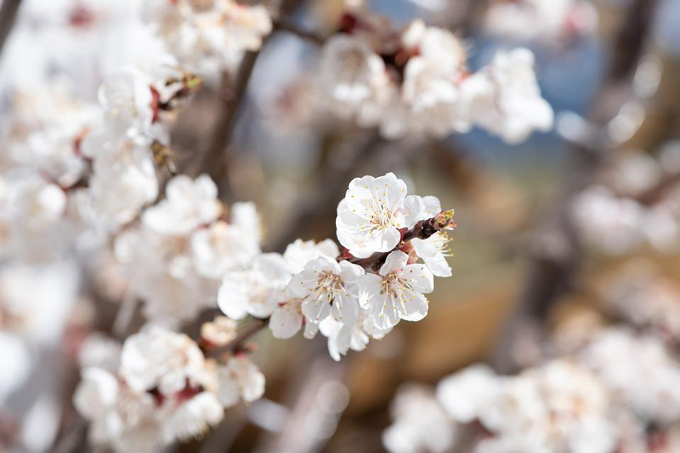 Flowers, Tree Blossoms, White, Spring, Branch, Bloom