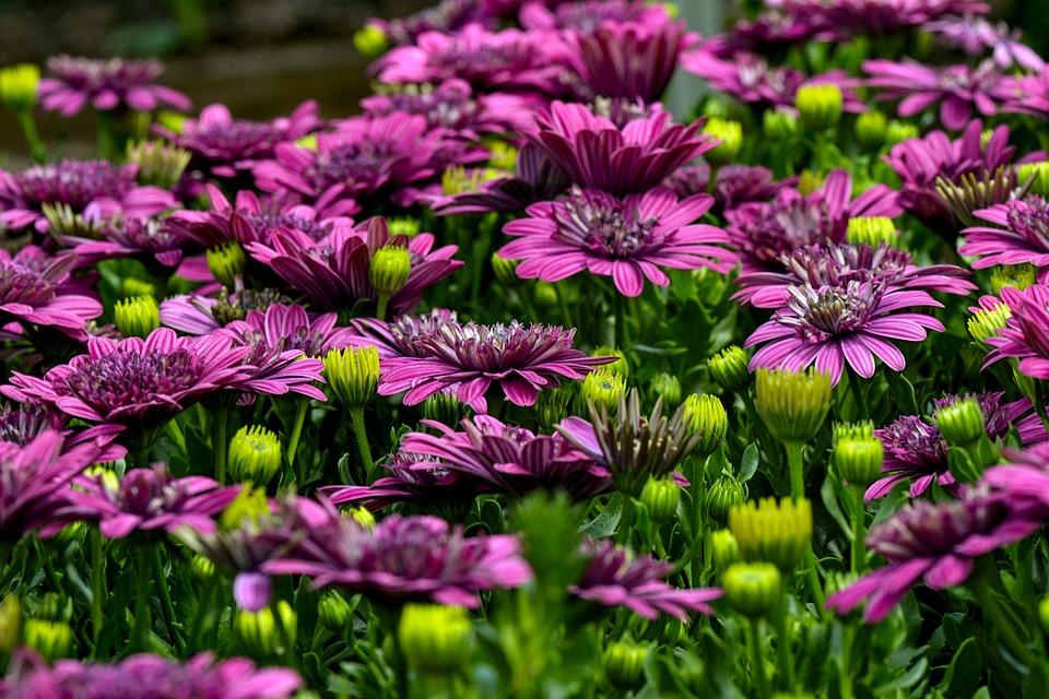 Cape Basket, Flowers, Colorful, Garden, Bloom, Violet