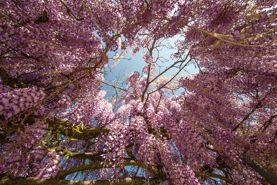 Wisteria, Flowers, Garden, Violet, Bloom