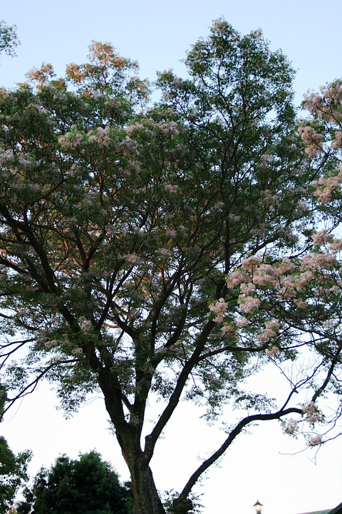 Trees, Tall, Blooming, Flowers, Clumped, White