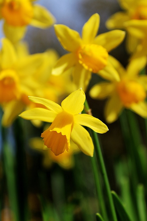 Free photo flowers blooming spring daffodils yellow garden max pixel daffodils garden spring yellow flowers blooming mightylinksfo