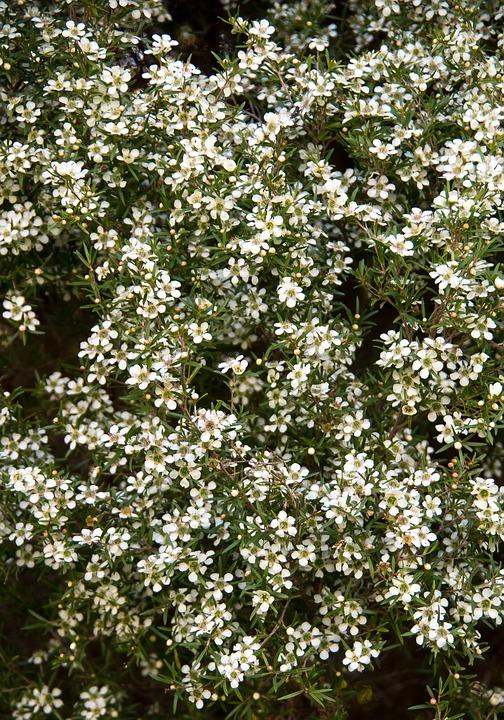 Flowers, Blooms, White, Shrub, Australia, Blossom