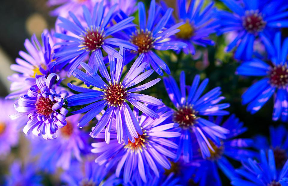 Flowers, Asters, Garden, Bloom, Blossom