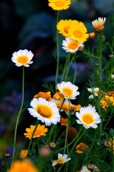 Daisies, Flowers, Plants, Bloom, Blossom