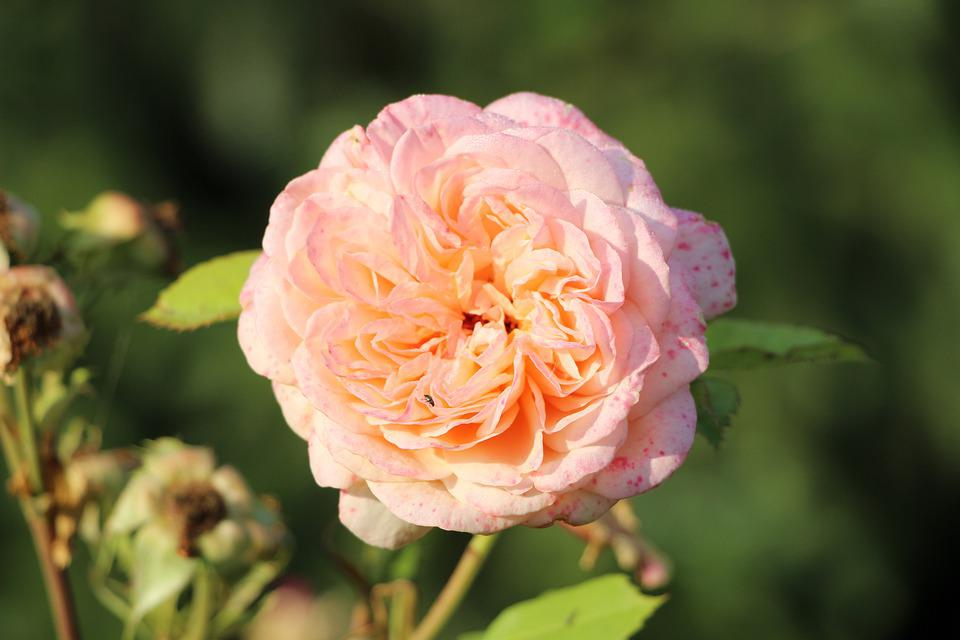 Rose, Beetle, Drip, Water, Blossom, Bloom, Flowers