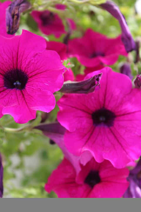 Flowers, Pink Flowers, Bloom, Blossom, Petals