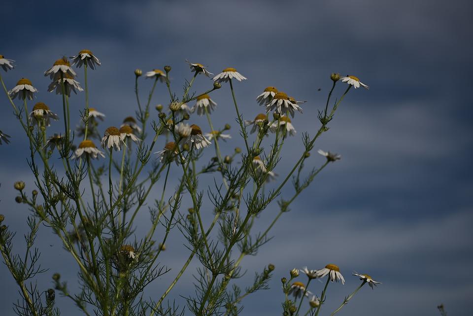 Chamomile, Daisy, Flowers, Nature, Summer, Blossom