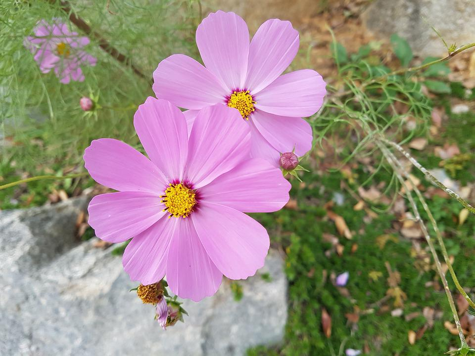 Free photo flowers blossom fall flowers free pictures cosmos max pixel fall flowers cosmos flowers blossom free pictures mightylinksfo