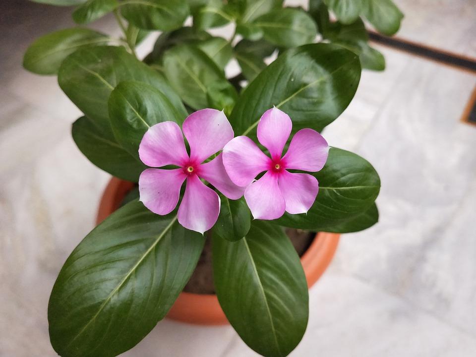 Pink Flower, Flowerpot, Flowers, Flora, Blossom