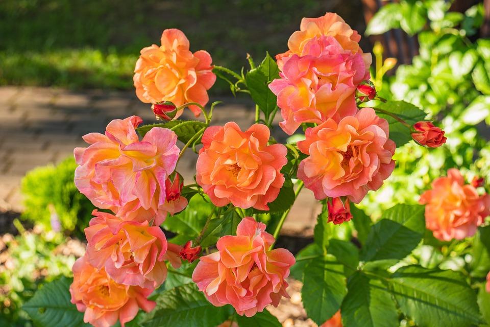 Roses, Flowers, Plant, Petals, Bloom, Blossom