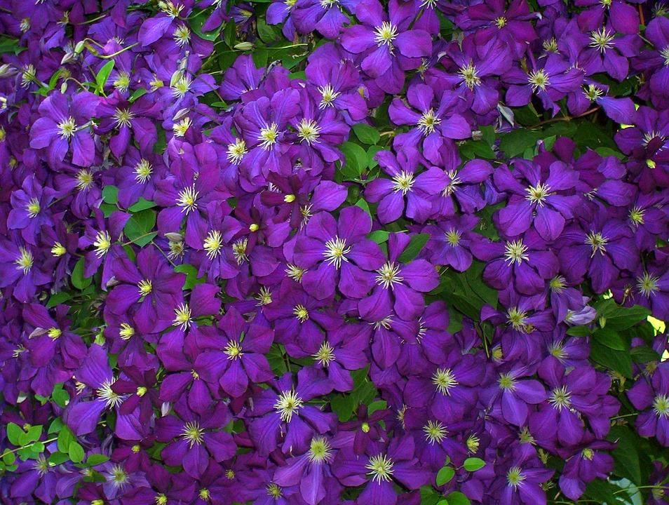 Clematis, Flowers, Violet, Purple, Blue, Green Leaves