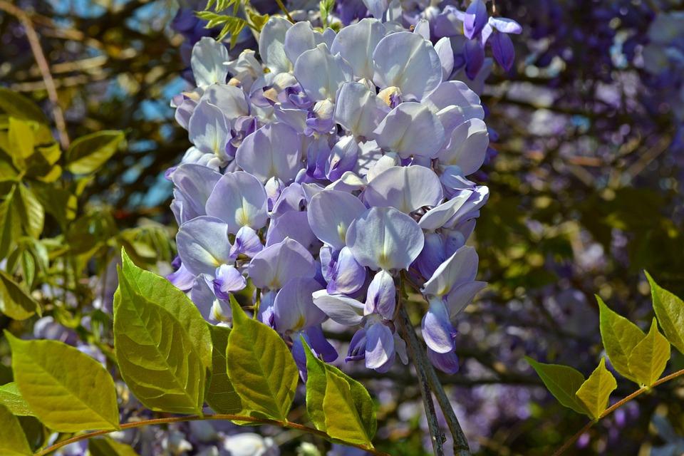 Blue Rain, Wisteria, Blue Flowers, Flowers, Blue