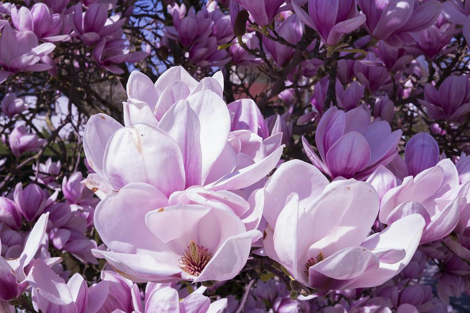 Free photo flowers bltenmeer magnolia magnolia blossom pink max pixel magnolia flowers pink magnolia blossom bltenmeer mightylinksfo