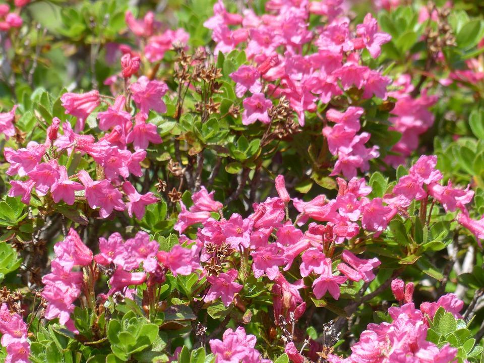 Ciliated Alpenrose, Flowers, Blütenmeer, Pink
