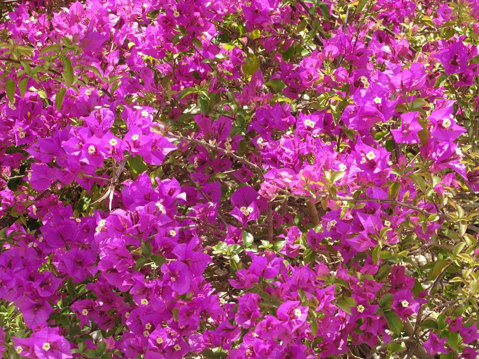 Bougainvillea, Flowers, Sea Of Flowers, Pink, Summer