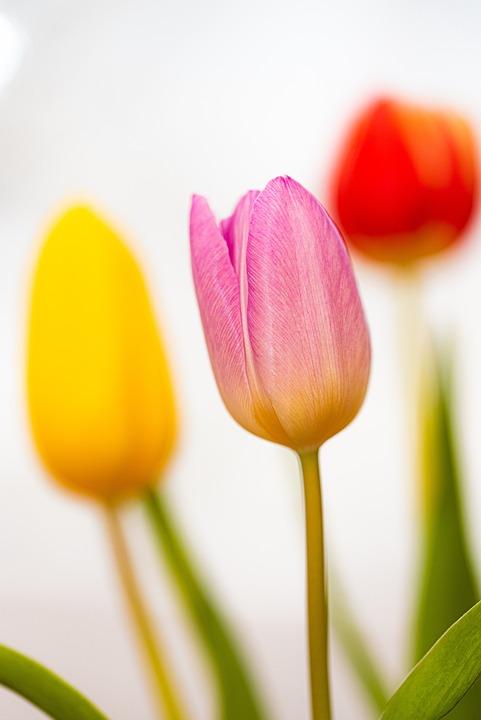 Tulips, Flowers, Color, Spring, Garden, Bouquet