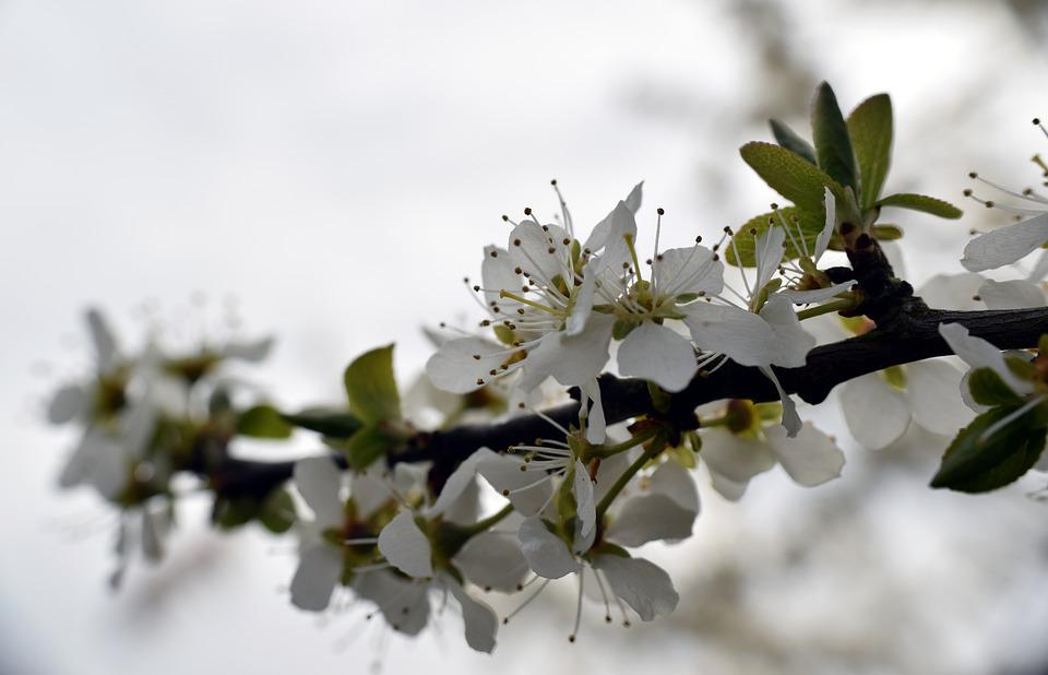 Branch, Flowers, Hawthorn, Spring, Nature, Tree, Bloom